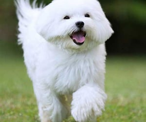 toy lourin dog, toy lourin doggies, and toy poodle puppies image