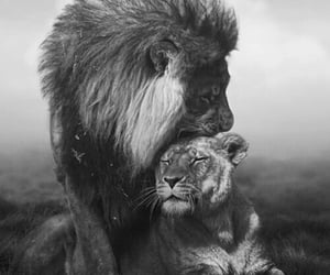 the protector and lover lions image
