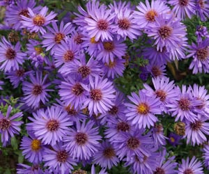 flowers, petite, and purple image
