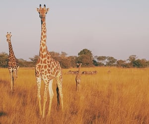 africa, animals, and giraffe image