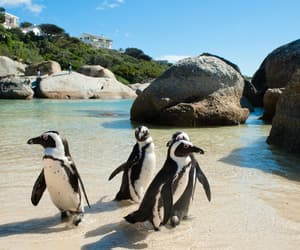 cape town south africa, nature ocean beach, and animals penguin lovely image