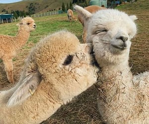 animal, alpaca, and kiss image