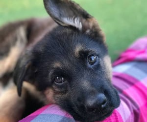animals, lovely, and german sheppard image