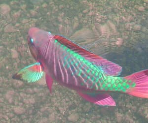 fish, aesthetic, and pink image