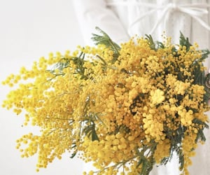 flowers, mimosa, and yellow image
