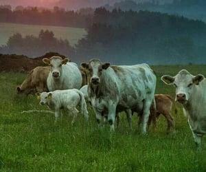 animal and cows image