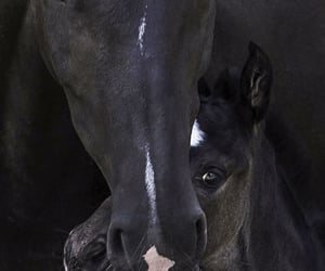 animals, black, and equestrian image