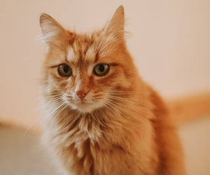 animals, cat, and ginger image