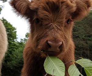 animal, cow, and cute image