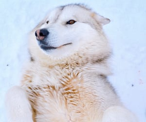 fluffy, winter, and wolfdog image