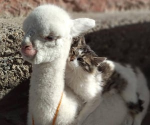 animal, alpaca, and cat image
