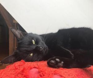 animal, animals, and black cat image