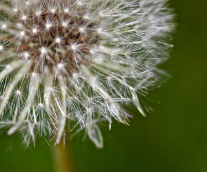 dandelion, flower, and photography image