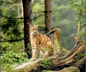Animales, belleza, and lince image