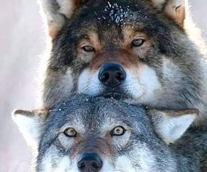 wolf and animals image