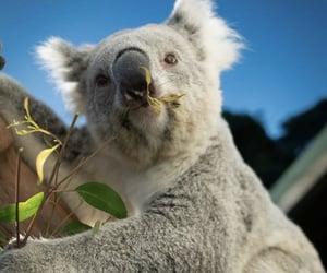 aesthetic, animal, and Koala image