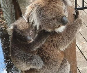 ❤, 🐨, and koala and her cub image