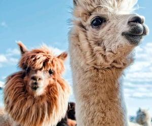 alpaca, alpacas, and animal image