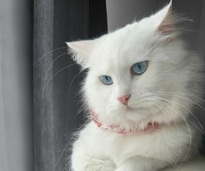 blue eyes, so cute, and cats image