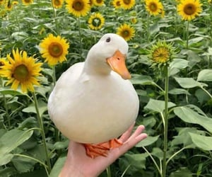duck, flowers, and sunflower image