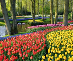 tulips, flowers, and garden image