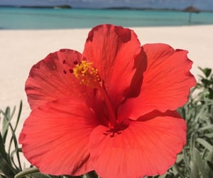beach, flowers, and hibiscus image