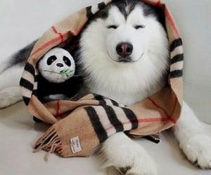 animal, dog, and panda image