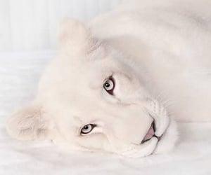 animal, white, and lion image