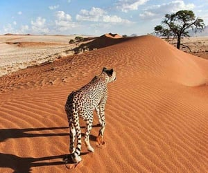 animal, desert, and leopard image