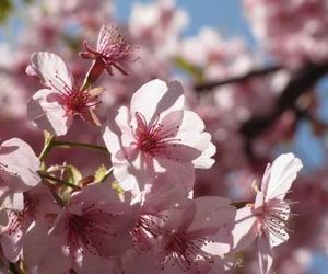 light, pink, and sakura image
