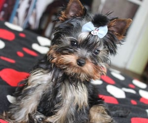 baby, paws, and yorkie image