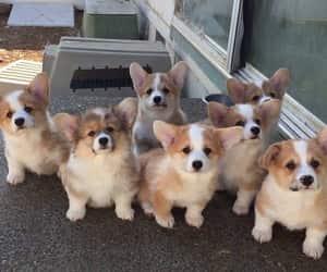 dog, puppy, and corgi image