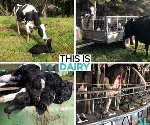 animals, awareness, and calf image