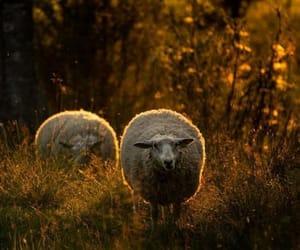animals and sheep image