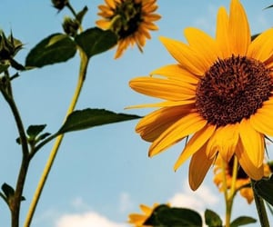 sunflower, wallpaper, and nature image