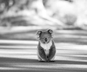 Koala, cute, and animal image