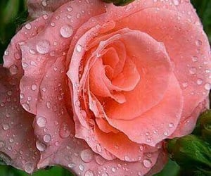 amor, rosa, and belleza image