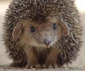 animal and hedgehog image