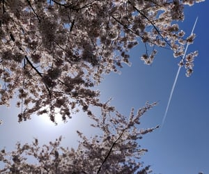 airplane, blossoms, and blue sky image