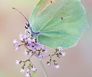 butterflies, butterfly, and insects image