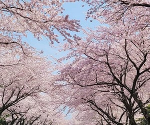 cherry blossom, wallpaper, and korea image