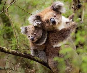 Animales, koalas, and naturaleza image