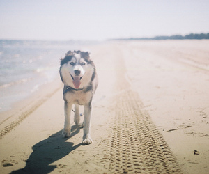 dog, beach, and husky image