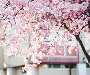 beautiful, cherry blossom, and nature image