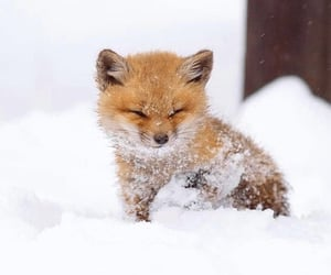 adorable, fox, and animals image
