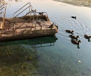 animals, ducks, and swimming image