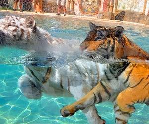 animal, tigers, and tiger image