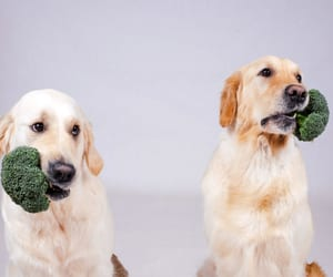 broccoli for dogs, can dogs eat broccoli, and can dogs have broccoli image