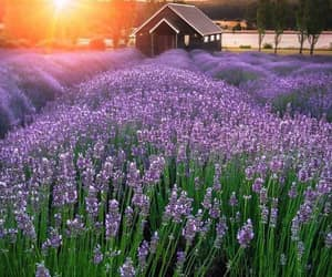 flowers, lavender, and lavender field image