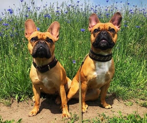animals, bulldogs, and dogs image